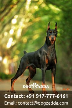 The Dobermann or Doberman Pinscher in the United States and Canada is a medium-large breed of domestic dog. Cute Dogs Breeds, Dog Breeds, Perro Doberman Pinscher, Chien Dobermann, Perros Pit Bull, Rottweiler Pictures, Doberman Training, Pet Dogs, 2 Corinthians