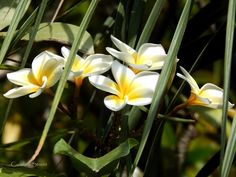 Frangipani in flower with overhanging Ponytail Palm by carolinestreet