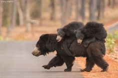 BEAR W/ CUBS Slothbears, photo by Vipul Ramanuj at Tadoba National Park, India