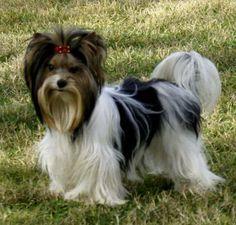 #Biewer #Yorkie #dogs #Puppy