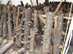 Learn how to take care of your shiitake mushroom logs and read our FAQs