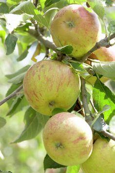 Malus domestica 'Coxs Orange Pippin' | Also known as: Apple 'Coxs Orange Pippin'