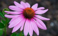 La tisana all'echinacea per rafforzare il sistema immunitario - L'echinacea è un'erba officinale che si utilizza per preparare una tisana per rafforzare il sistema immunitario.