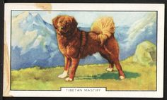 "Tibetan Mastiff Dog 1938 Gallaher Cigarette Card ""Dogs Second Series"", Card #14"