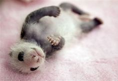 Panda mating season is approaching!