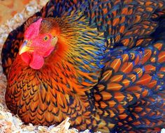Obviously edited, but such a beautiful chicken! ☺️
