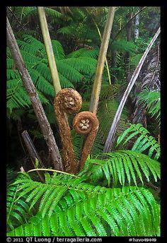 Crozier of the Hapuu tree ferns. Hawaii Volcanoes National Park, Hawaii.  Photo: QT Luong, terragalleria.com