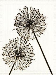 Flower Photograph Sepia Wish -Allium Nature Minimalist Decor Garden Fine Art Print Large Vintage Style