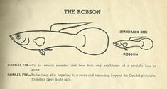 The Robson Guppy, 1955 UK Federation of Guppy Breeder's Society standard.