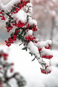 Berries in the snow...