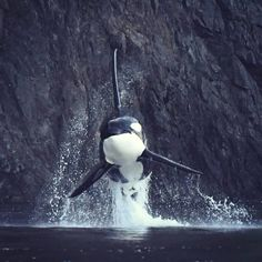 Male Orca breaching at Orcas Island shoreline. ___ Can you guess how tall his dorsal fin? ___ Photo By: 📸 Fo👣ow us for more👉🏻 💙 Animals And Pets, Funny Animals, Rare Animals, Strange Animals, Seaworld Orlando, Orcas Island, Delphine, Ocean Creatures, Killer Whales