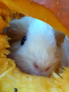 indigoroses: Emma's guinea pig in a pumpkin because we can