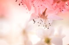 White Pear Blossom Flower Photograph Pink Flower by InLightImagery