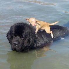 A newfie saving a little dog:)