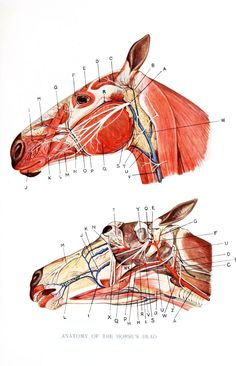 Skull anatomy of a horse. Anatomy Head, Skull Anatomy, Horse Anatomy, Animal Anatomy, Large Animal Vet, Large Animals, Horse Facts, Animal Medicine, Pet Vet