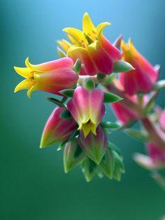 Flower Homes: Rare or Odd Flowers Echeveria bloom