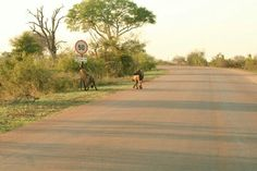 Hyena chewing the speed sign on the H4-2 close to Crocodile Bridge Krugerpark
