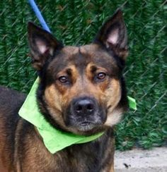"""""""DAMIEN"""" -NYC ACC TO KILL -FRI. - 12/16/16 -Damien might look imposing and stern, but he is a sweet fellow. He is leashed easily and we are in no time in the street, where he strolls at a good pace. Surprisingly, he does not chase pigeons and did not go after the few squirrels we met in the park. He did not respond either to a little dog barking defensively at him and neared politely bigger pooches. He does perform quite well with his peers in playgroups. Damien is likely house trained..."""