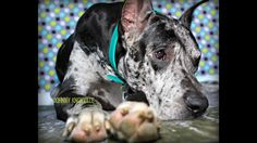 Great Dane photographed by Tricia Hurst Photography
