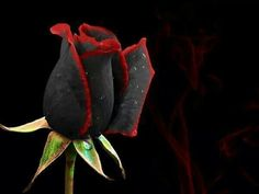 Real Black Rose, Not Dyed
