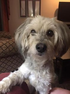Chicory - Bedlington Terrier/Lhasa Apso mix - Male - approx 4-5 yrs old - Oklahoma Westie Rescue - Bixby, OK. - https://www.facebook.com/Oklahoma-Westie-Rescue-115944313453/ - https://www.petfinder.com/petdetail/37366723