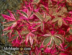 Acer palmatum Geisha Gone Wild is an excellent red and pink variegated Japanese maple. Buy this rare tree mail-order at MrMaple.com!
