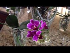 Phalaenopsis orchids in full water culture - YouTube