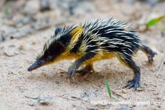 The lowland streaked tenrec (Hemicentetes semispinosus) is a small tenrec found . - The lowland streaked tenrec (Hemicentetes semispinosus) is a small tenrec found in Madagascar. Interesting Animals, Unusual Animals, Rare Animals, Cute Baby Animals, Animals And Pets, Funny Animals, Strange Animals, Beautiful Creatures, Animals Beautiful