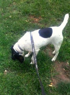 Dog walking: Twice-Fox Terrier pelo liso.