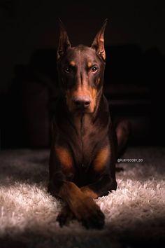 DOBERMAN PINSCHER #dogsfunnyphotography #dobermanpinscher