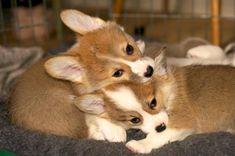 Cute Corgi Puppy, Welsh Corgi Puppies, Corgi Pembroke, Puppy Love, Cute Puppies, Cute Dogs, Corgi Pups, Cute Little Dogs, I Love Dogs