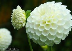 Brookside Snowball | Dahlia Barn