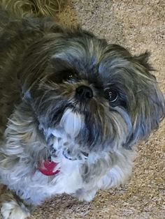 Toby our shih tzu