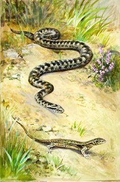 Viper and Common Lizard