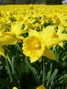Field Of Daffodils | Daffodils, Daffodil Field, Osterglocken, Yellow, Spring