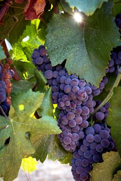 Temecula Grapes #Wine #IheartTemecula My town: Historic #Temecula, California #wine #rover #tours #tour #Temecula in #Style