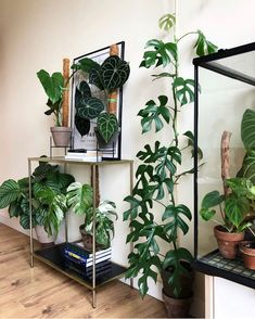 Rhaphidophora Tetrasperma Care Guide - That Planty Life - - This month we're featuring the Rhaphidophora tetrasperma it's easy to grow, fast-growing, and absolutely adorable! Read on to learn everything about it! Flowering House Plants, House Plants Decor, Garden Plants, Monstera Deliciosa, Indoor Garden, Indoor Plants, Plant Of Life, House Plant Care, Houseplants