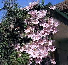 Картинки по запросу ломонос цветок