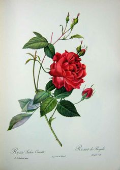 rose by pierre joseph redoute