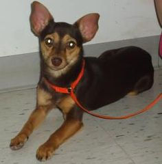 Osita is an adoptable Chihuahua Dog in Emporia, KS. Shy and needs some work....RESCUED!