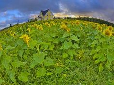 Sunflower Field, Cape Turner, Prince Edward Island - Professional Photos