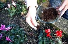 Save your coffee grounds! Place on top of the dirt around your plants. Not only will it enrich the soil, but it keeps aphids away from tomato plants. Gardening For Beginners, Gardening Tips, Plumeria Care, Cinnamon Uses, Egg Shells In Garden, Acid Loving Plants, Benefits Of Gardening, Compost Tea, Uses For Coffee Grounds