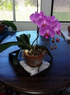 How to Revive an Orchid Plant. Orchids are beautiful flowers that bloom in cycles. Just because the flowers have fallen off doesn't mean that the orchid is dead—it's simply in a dormant phase and will likely flower again. Inside Plants, All Plants, Garden Plants, Indoor Plants, Orchid Plant Care, Orchid Plants, Horticulture, Orchid Fertilizer, Orchid Roots