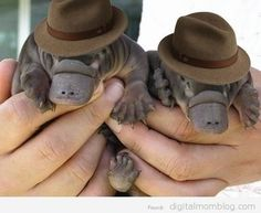 could baby platypuses look better in fedoras than even bogart?
