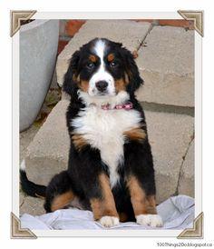 14 week Bernese Mountain dog puppy