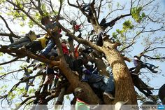 ZIMBABWE, Harare : Supporters of Zimbabwe's Prime Minister climb up a tree during an election rally in Harare on July Zimbabweans go to the polls on July 31 to choose between veteran. Victoria Falls, Bungee Jumping, Pictures Of The Week, Photojournalism, Rafting, Bradley Mountain, Safari, National Parks, Wildlife