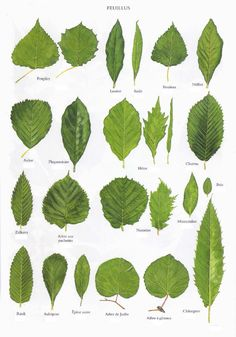 Planche 3 - Feuillus Plus Botanical Drawings, Botanical Prints, Tree Leaves, Plant Leaves, Tree Leaf Identification, Illustration Botanique, Plant Guide, Leaf Art, Trees And Shrubs