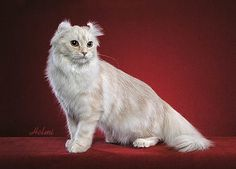 20 Most Affectionate Cat Breeds in The World Samoreals - American Curl - Ideas of American Curl - American Curl Most Affectionate Cat Breeds The post 20 Most Affectionate Cat Breeds in The World Samoreals appeared first on Cat Gig. American Wirehair, Warrior Cats, American Curl Kittens, Tortoiseshell Tabby, American Shorthair, Kinds Of Cats, Majestic Animals, Cat Colors, Kitty Cats