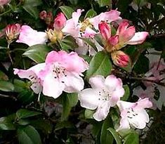 R. 'Cilpinense' - Early Blooming Rhododendron - 3 feet in 10 years