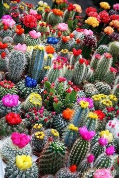 Cactus florido. Nothing quite like the   unexpected vivid beauty of a cactus when it blooms...